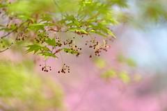 (myu-myu) Tags: plant flower nature japan nikon japanesemaple d800 newleaves