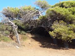 Πευκα ανεμοδαρμενα Μπατσι Ανδρος DSC07833 (omirou56) Tags: trees summer green island europe shadows greece andros 43 batsi saveearth ελλαδα νησι φυση καλοκαιρι δεντρα πρασινο ουρανοσ ευρωπη ανδροσ σκιεσ μπατσι πευκα sonydschx9v