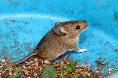 another rescue mission (Suzie Noble) Tags: wall mouse mammal seeds greenhouse sunflowerseeds trug stonedyke strathglass struy
