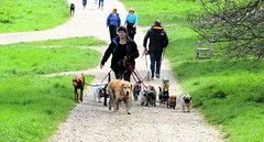 """The Dirty Dozen"" (standhisround) Tags: uk people london dogs animals walking hampstead hampsteadheath dogwalker dogbreeds"