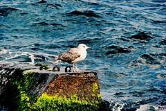 #istanbul #bosphorus #seagull #nature #filtered (mercantonga) Tags: nature seagull istanbul bosphorus filtered