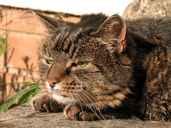 Cindy in the Sun (BIKEPILOT) Tags: uk greatbritain england sun sunlight cindy nature face look animal female cat friend feline tabby tripod surrey whiskers farnham weybourne threeleggedcat