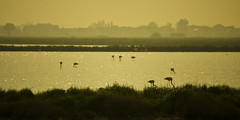 Fenicotteri rosa (eastwood_clint) Tags: del flamingos delta po ravenna foresta oasi fenicotteri punte allagata alberete