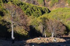 il Boscoso Nord (Roveclimb) Tags: wood mountain forest hiking mede montagna beech medee bosco foresta faggio escursionismo gravedona faggi liro muncech torresella jorio vincino toresella valledelliro valledisanjorio maiavacca alpetorresella alpetoresella alpemed