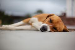 Sleeping Dog, Guatape (Geraint Rowland Photography) Tags: sleeping dog dogs southamerica animal canon puppy colombia sleep 50mm14 siesta doggy 18 shallowdepthoffield animalportrait streetdog beautifulnature widedepthoffield booked guatape apertureadjustments travellingincolombia geraintrowlandanimalphotography