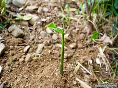 Young leaves of Myoga ( Japanese ginger) |  (over_frost) Tags: japan spring april  saitama myoga   4    japaneseginger