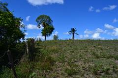 007-006 rvores primeiro plano ip amarelo ao fundo p de coco dend (agnaldo.severo) Tags: verde azul cu nuvem rvores