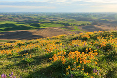 Balsamroot over the Palouse (Matthew Singer) Tags: washington unitedstates wildflowers garfield palouse steptoebutte