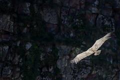 ItsusikoHarria-48 (enekobidegain) Tags: mountains montagne vultures monte euskalherria basquecountry bui pyrnes pirineos mendia buitres paysbasque nafarroa pirineoak bidarrai saiak vautours itsasu itsusikoharria
