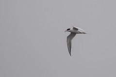 Forster's Tern (sjdavies1969) Tags: berlin birds animals us unitedstates gulls maryland animalia terns vertebrates laridae forsterstern sternaforsteri sternidae sterninae ternsandskimmers