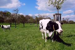 Boehhhhhhh .... it's Spring !! (jo.misere) Tags: nature cow belgium belgie natuur bloesem limburg koe blossum