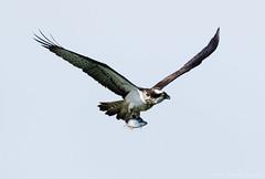 Osprey (steven waddingham) Tags: fish bird kill rutland