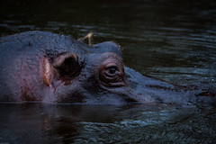 cathyb-20160428-IMG_9000.jpg (madelinefluffbum) Tags: zoo oz australia melbourne victoria vic hippos downunder werribeezoo plainkeywords