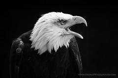 Bald Eagle On Black (Old-Man-George) Tags: portrait bird animal eagle baldeagle beak feathers hampshire raptor captive hawkconservancy wwwgeorgewheelhousecom georgewheelhouse d880298