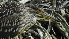 Camouflaged Chick (Raj the Tora) Tags: wild heron nature fauna flora wildlife chick camouflage camouflaged blackcrownednightheron nycticoraxnycticorax nightheron heronchick chickcamouflage chickscamouflage