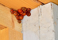 Hello Ladies (Cyber Drifter) Tags: orange color lady barn bug insect group beetle insects bugs ladybug ladybugs