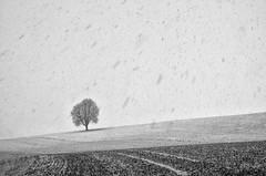 """The Tree - January 2016"" (helmet13) Tags: winter bw snow tree landscape silence simplicity chestnut snowfall thetree aoi 200faves peaceaward heartaward world100f leicaxvario"