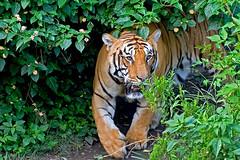 Royal Bengal Tiger (susilsaurav) Tags: wildlife tiger bengaltiger royalbengaltiger
