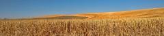 SUBMERGED (Irene2727) Tags: sky panorama nature landscape flora patterns pano wheat hills washingtonstate palouse