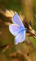 Blue Beauty (rufftytufty) Tags: blue nature beauty contrast insect wings colours artistic ears tips edges feeler