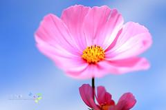 小花搖籃 (歲月之歌) Tags: taiwan 台灣 花朵 隨拍 小品 花卉 映像 小物 35l 小玩意兒 微拍 風格