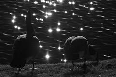 Harsh Lighting (brev99) Tags: water reflections geese pond backlit harsh harshlighting d7100 tamron70300vc dxofilmpack5