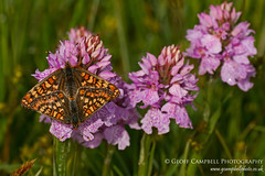 Butterfly and Orchid - Marsh Fritillary on Heath Spotted Orchid (gcampbellphoto) Tags: flower nature butterfly insect flora wildlife northernireland floraandfauna countyantrim heathspottedorchid marshfritillary