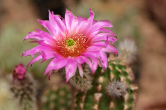 D71_7948A (vkalivoda) Tags: cactus plant flower macro nikon blossom cacto kaktus kaktee echinocereus nikon10528 kvtina d7100