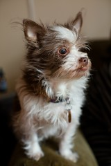 Isabella (Jeff Buchbinder) Tags: dog dogs animal animals mutt gremlin bella manual isabella nikkor mogwai manualfocus vintagelens 55mmf12 nikkor55mmf12 canon5dmk3