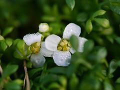 bejewelled (von8itchfisk) Tags: white flower macro green wet alpine handheld waterdrops bejewelled battisford vonbitchfisk