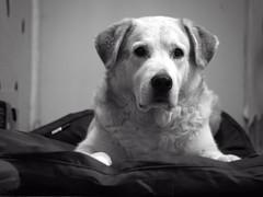 2016-01-29_18-58-32 (torstenbehrens) Tags: camera bw dog animal digital pen foto indoor olympus hund 60mm tier kissen ep1 fressen wartet mft liegend schwarzweis tarbek