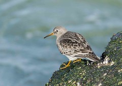 Purple Sandpiper (swmartz) Tags: beach nature birds outdoors newjersey nikon jetty january sandpiper barnegat barnegatlighthouse shorebird 2016