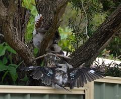 DSC_0037 (RUMTIME) Tags: bird nature birds fly flying flight feathers feather queensland kookaburra coochie coochiemudlo