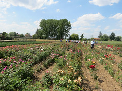 Laperriere rose fields