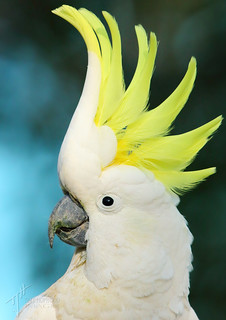 'Cocky' - Sulphur-crested Cockatoo