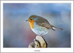 Robin At Balmaha (flatfoot471) Tags: winter bird robin landscape scotland unitedkingdom normal lochlomond stirlingshire 2016 balmaha millarochybay