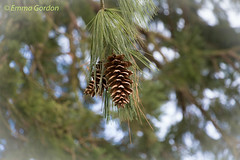 IMG_0881 (Emma Gordon10) Tags: trees nature abbey gardens outdoor pinecones anglesey