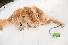 Golden Retriever Standing in Deep Snow from the Blizzard of 2016 (scattered1) Tags: winter dog pet snow storm cold face weather animal goldenretriever fur fun toy mammal golden play head snowstorm canine run retriever liam jonas blizzard winterstorm retrieve 2016 snowzilla blizzard2016 winterstormjonas