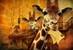 Tall Order--Special Delivery (lensletter) Tags: animals bicycle wall composite photomanipulation photoshop recipe whimsy cowboy ramp mail postcard letters type giraffe aged whimsical textured typewriterkeys theawardtree artisticmanipulationgroup kreativepeoplegroup lensletter
