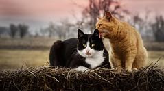 Is this Love? ( Elena Pejchinova) Tags: pet cats pets love nature animal cat dof outdoor kittens depthoffield bestfriends