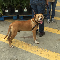 Dexter (soniaadammurray - SLOWLY TRYING TO CATCH UP) Tags: family pets dogs happy friendly dexter adoption iphone sarasotasheriffsanimalservices