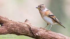 Pinson du Nord (Fringilla montifringilla) (lolo_31) Tags: birds aves oiseaux fringillidae brambling fringillamontifringilla pinsondunord fringillids passriformes