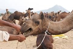 Angry Camel (Simon Maddison LRPS) Tags: raw pushkar rajasthan