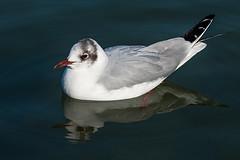 Mditation d'une mouette (BJF13122) Tags: eau miroir mouette calme oiseaux faune relets