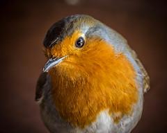 Robin (simon clare photography) Tags: uk wild portrait england orange southwest bird english nature robin animal closeup digital nikon close unitedkingdom britain wildlife british wwt slimbridge southgloucestershire simonclare d7200 simoncphotography sclarephoto