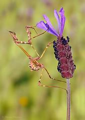 Depredador (Maite Mojica) Tags: primavera flor campo insecto lavandula mantidae empusa stoechas pennata artrpodo cantueso mntido