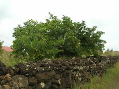 starr-060916-8869-Diospyros_kaki-habit-Kula-Maui (Starr Environmental) Tags: diospyroskaki