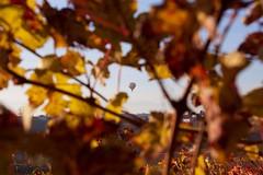 Langhe, Piemonte (--Eli--) Tags: foglie wine alba piemonte bianca uva autunno colori paesaggio barbaresco vino barolo vendemmia barbera langhe rossa viti roero nebbiolo dolcetto vitigno