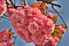 Happy Birthday Flickr!  | Flickr's 12th Birthday (! . Angela Lobefaro . !) Tags: flowers spring flickr piemonte fiori biella piedmont auguri 12years manyhappyreturns valdengo 12yearsold biellese manyhappyreturnsoftheday 10yearsonflickr iamsoon10yearsold buoncompleannoflickr bonanniversiare flickrs12thbirthday