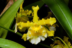 Odontocidium Sanguine 'Celtic Goddess' (Nurelias) Tags: flowers flores orchid flower color macro fleur beautiful forest photography hawaii james flora nikon rainforest colorful orchids farm nursery orchidaceae tropical orquidea hilo orchidee makro fang flore orchideen d7100 orchidales